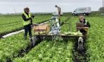 人工智能技术加持:剑桥大学开发新型自主式生菜采摘机器人