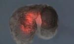 全球首个活体机器人诞生:蟾蜍细胞构建进化算法设计,能动能自愈